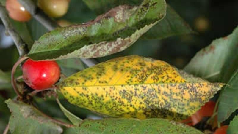 Коккомикоз вишни и черешни