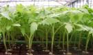 Пересадка рассады томатов в теплицу и в грунт