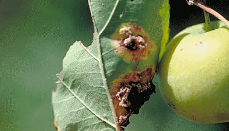 Ржавчина яблони и груши
