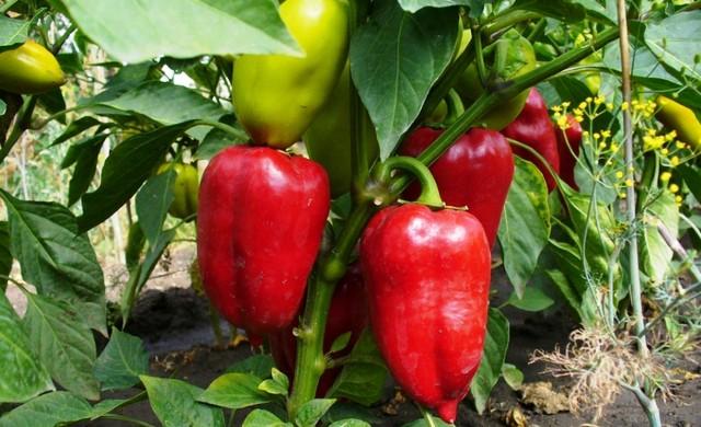 Удобрение болгарского переца