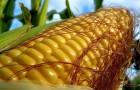 немного о кукурузе