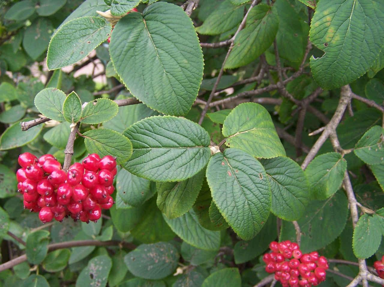 Сажаем ягодные кустарники