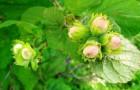 Лещина (лесной орех) и фундук