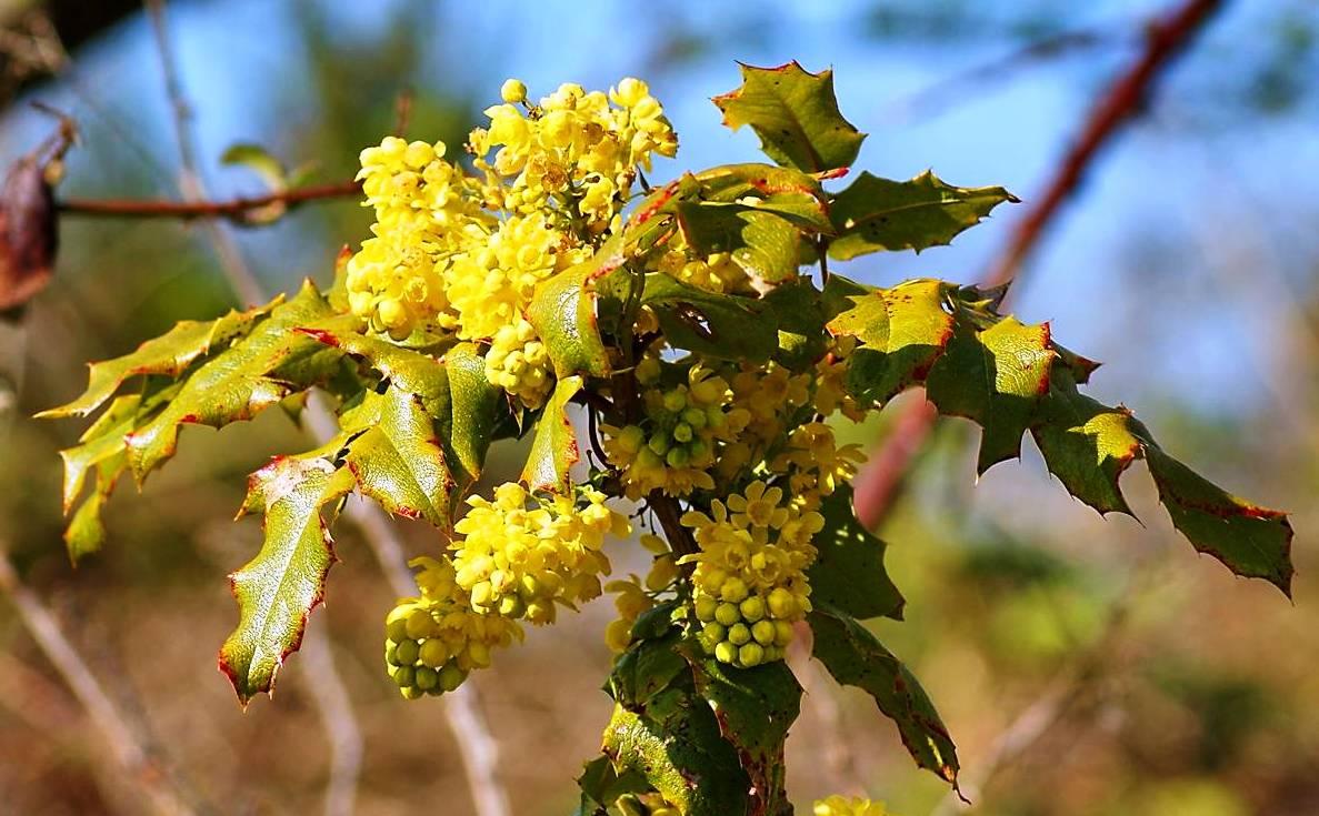 Магония (Орегонский виноград)