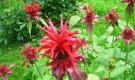 растение многолетнее, образующее красивые плотные кусты высотой 60-80 см...