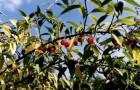 Плоскосемянник (Колючая вишня)