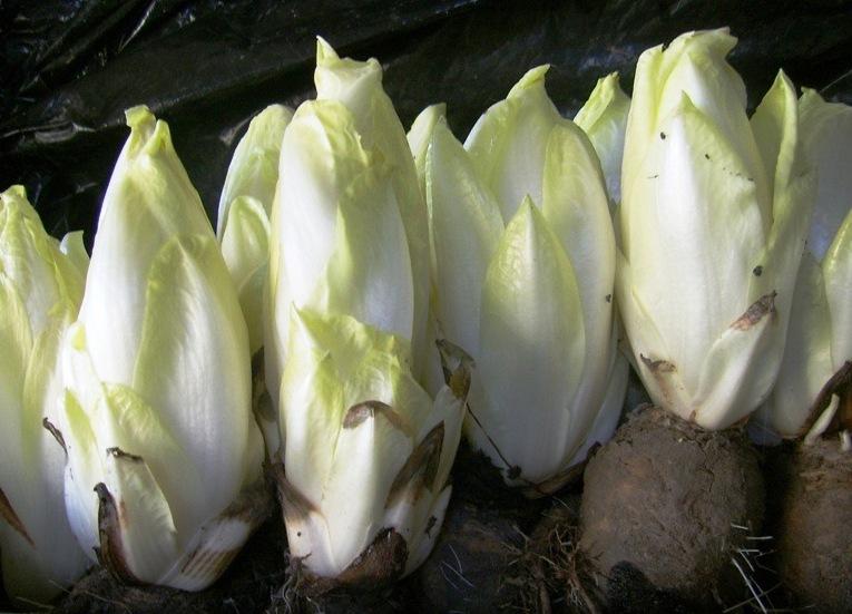 Цикорий салатный (витлуф)