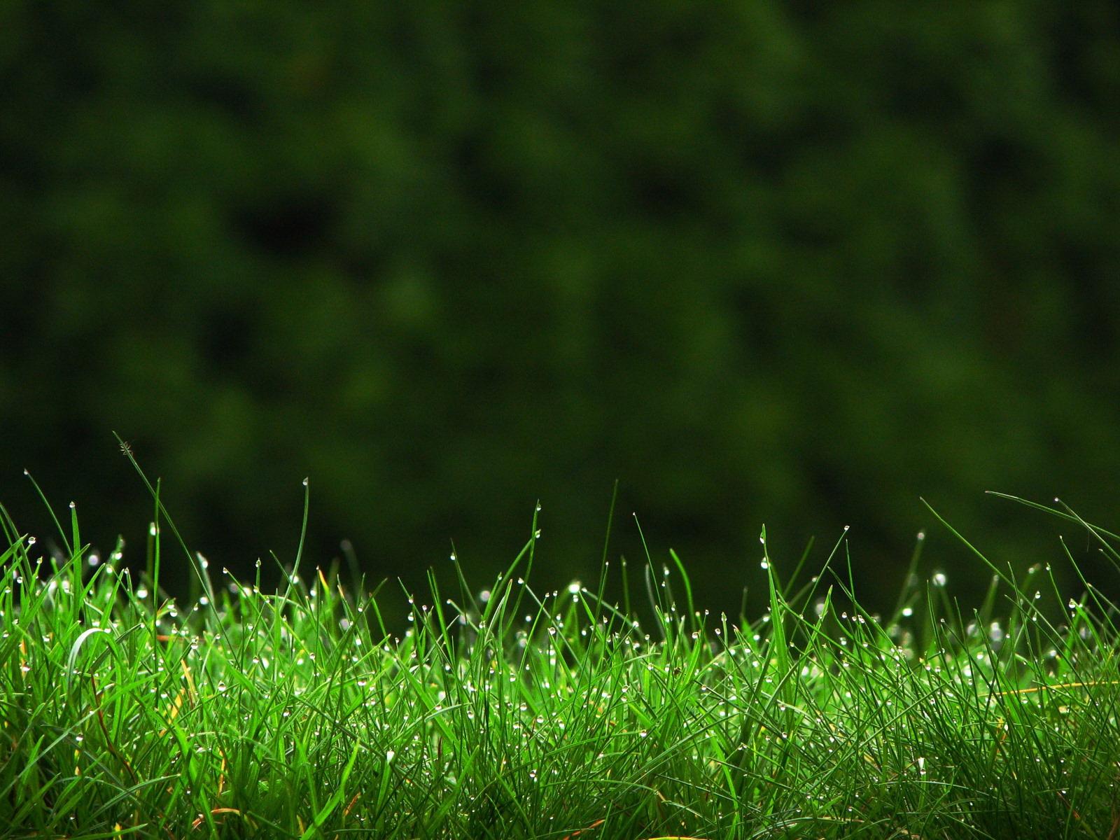 Выбираем сорт газона
