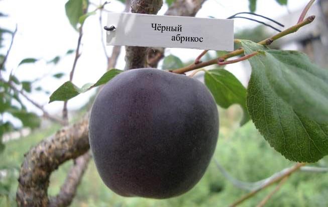 Абрикосоалыча (Абрикос Черный)