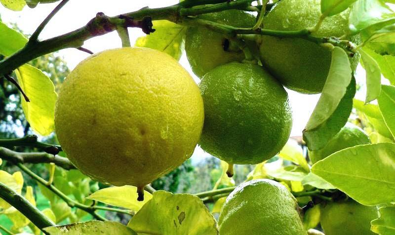 Бергамотный апельсин