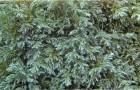 Кипарисовик горохоплодный Булевар