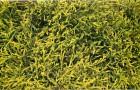 Кипарисовик горохоплодный Санголд