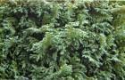 Кипарисовик горохоплодный Сквэероуз Сульфуреа