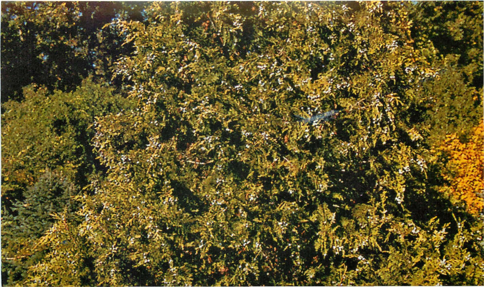 Кипарисовик нутканский Ауреа