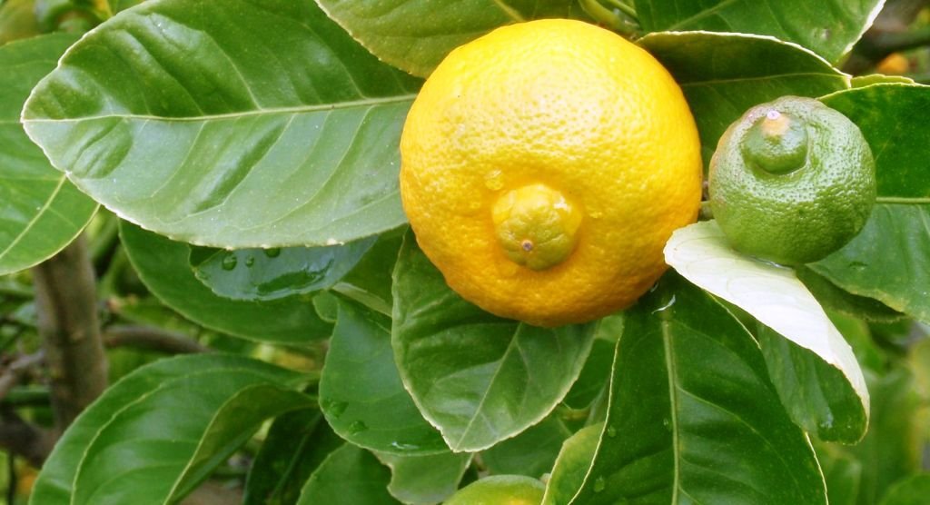 Редкие цитрусовые и субтропические плодовые культуры