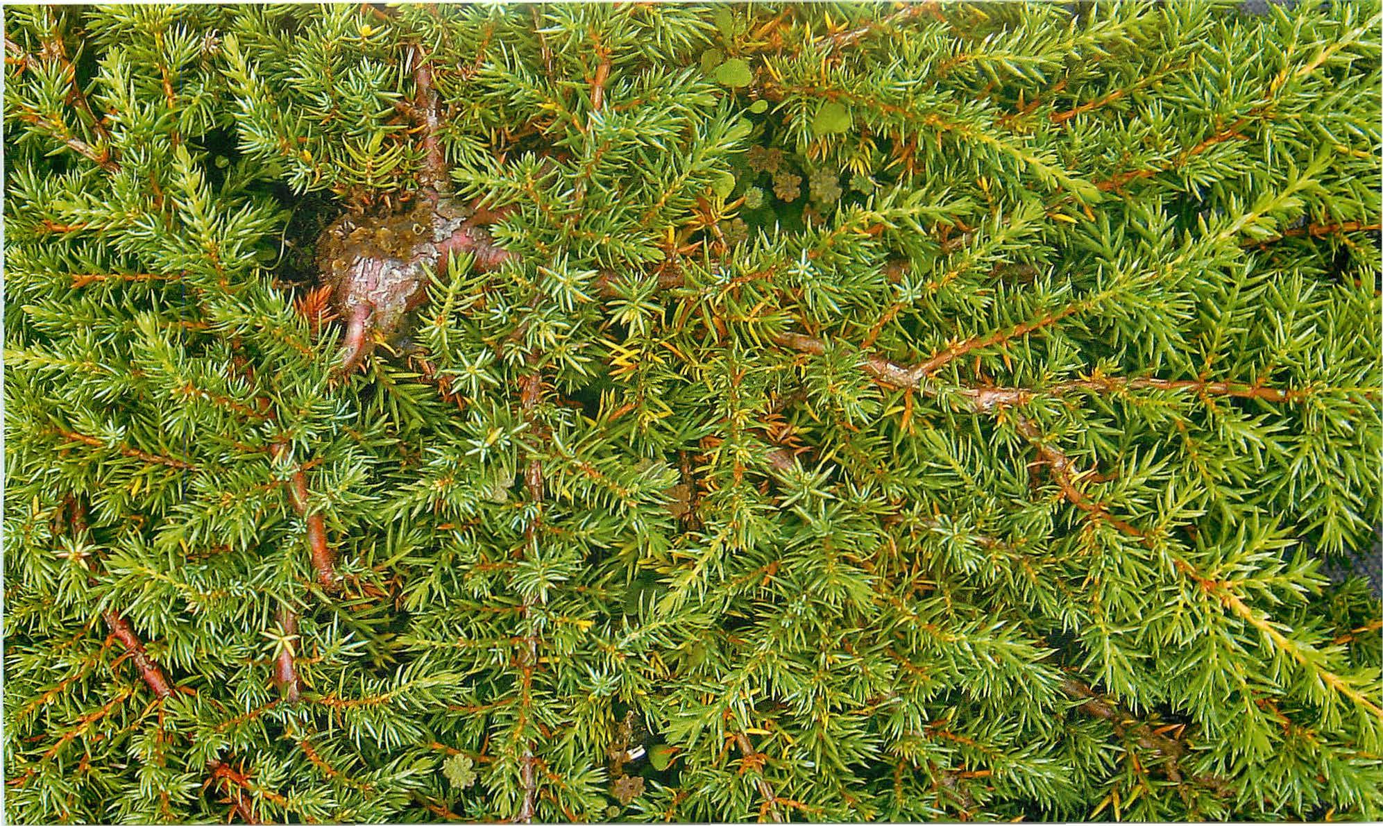 Можжевельник обыкновенный Грин Карпит