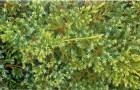 Можжевельник обыкновенный Мейер
