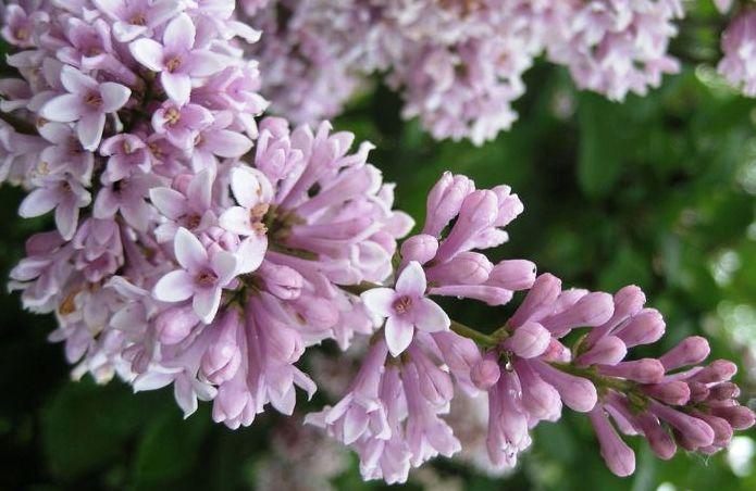 Сирень мохнатая