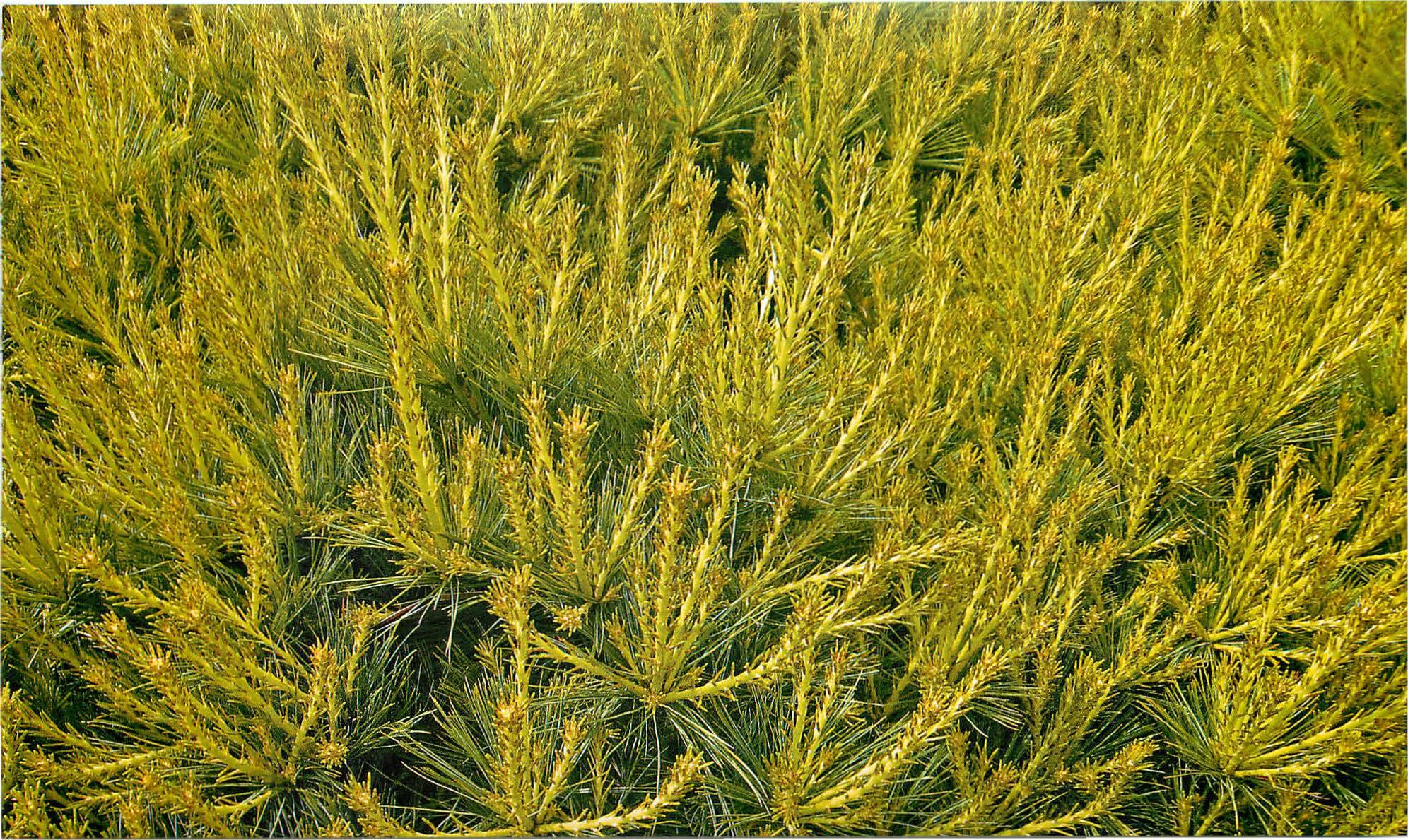 Сосна Веймутова (Pinus Strobus): сорта, уход и размножение ...
