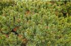Сосна густоцветная Умбракулифолия