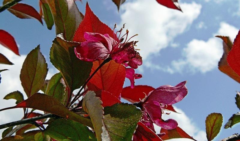 Яблоня пурпурная 'Роялти'