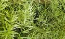 Аспарагус густоцветковый