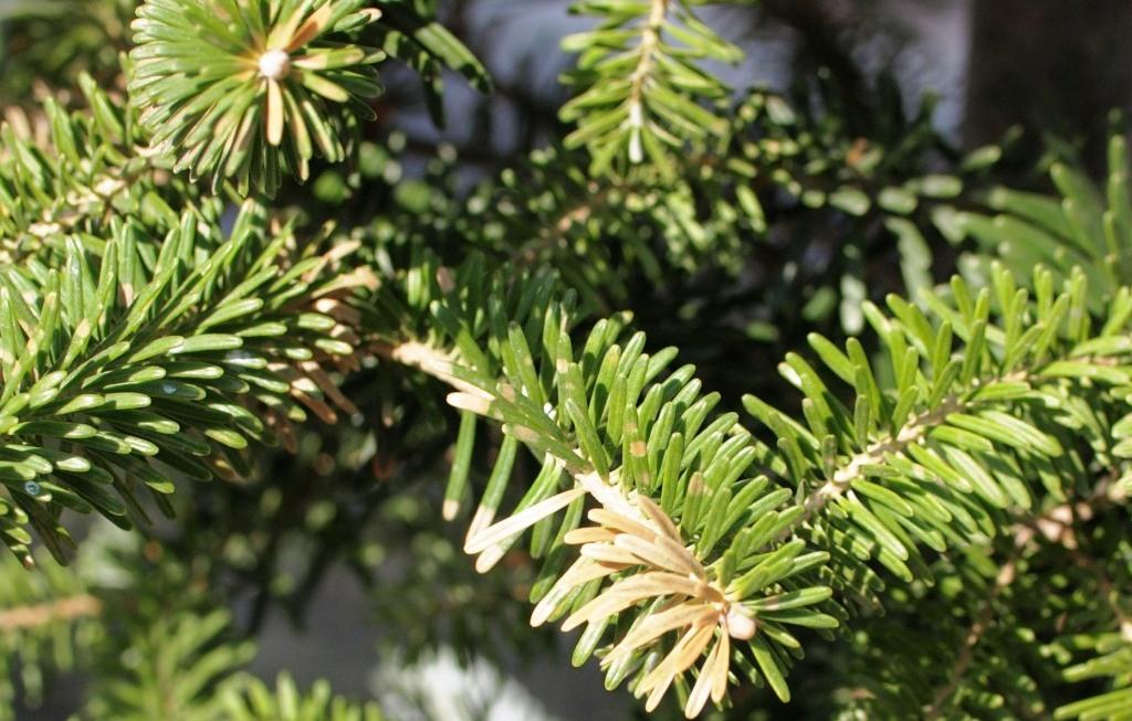Болезни хвойных растений