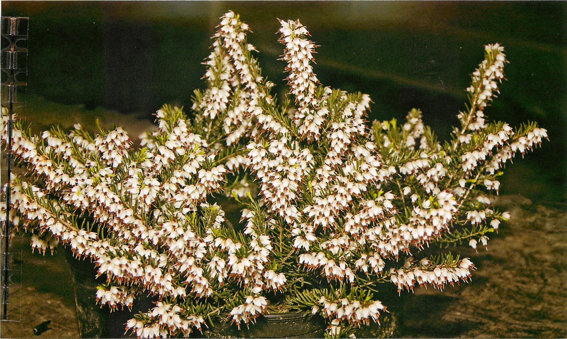 Эрика травянистая