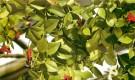 Эсхинантус яванский
