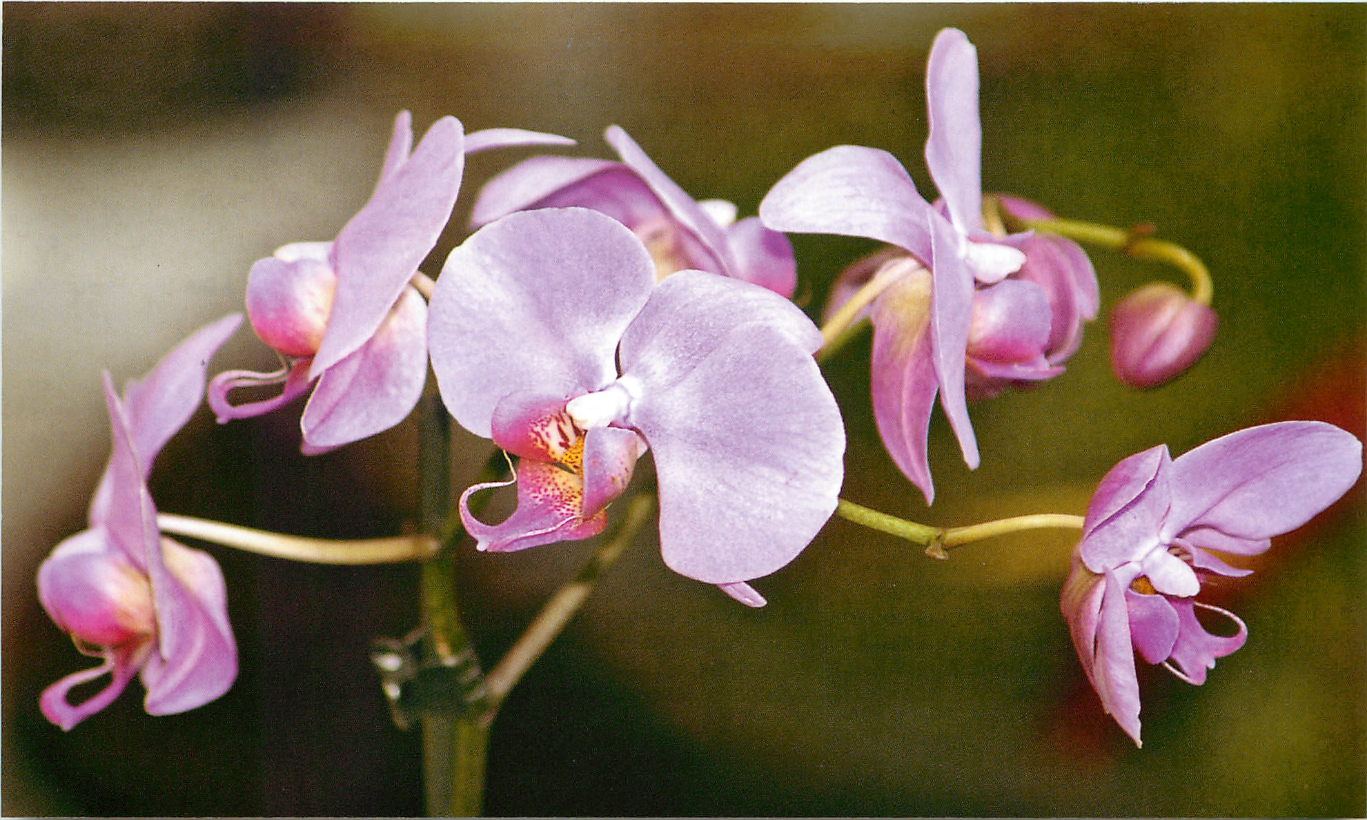 Фаленопсис