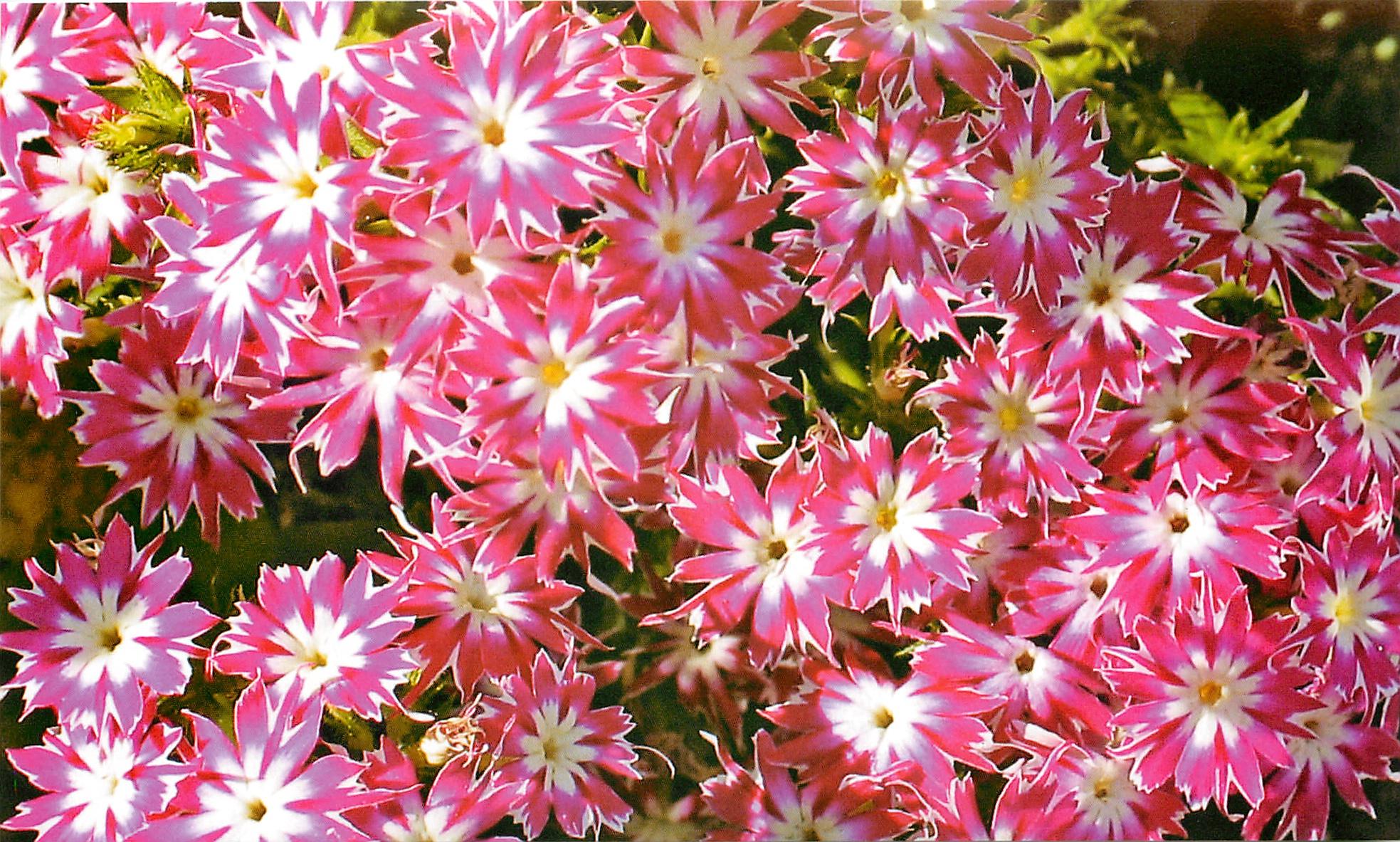 Фото и названия однолетних и многолетних цветов для клумбы