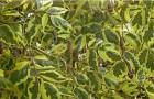 Клен ясенелистый