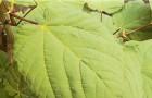 Клен зеленокорый