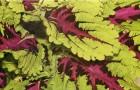 Колеус гибридный