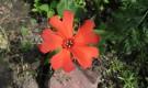 Лихнис Хааге — многолетнее кустовое растение