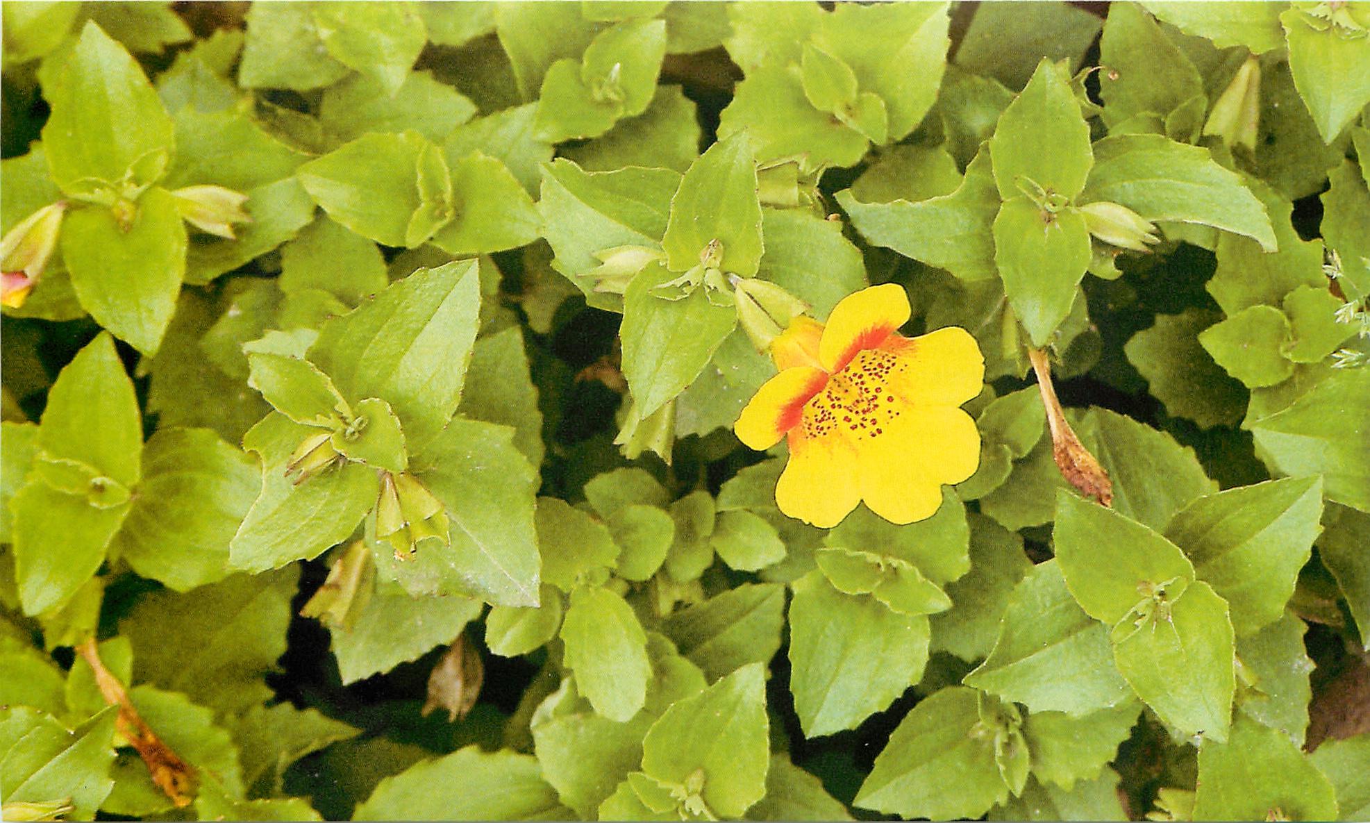 Мимулюс выращивание и уход фото