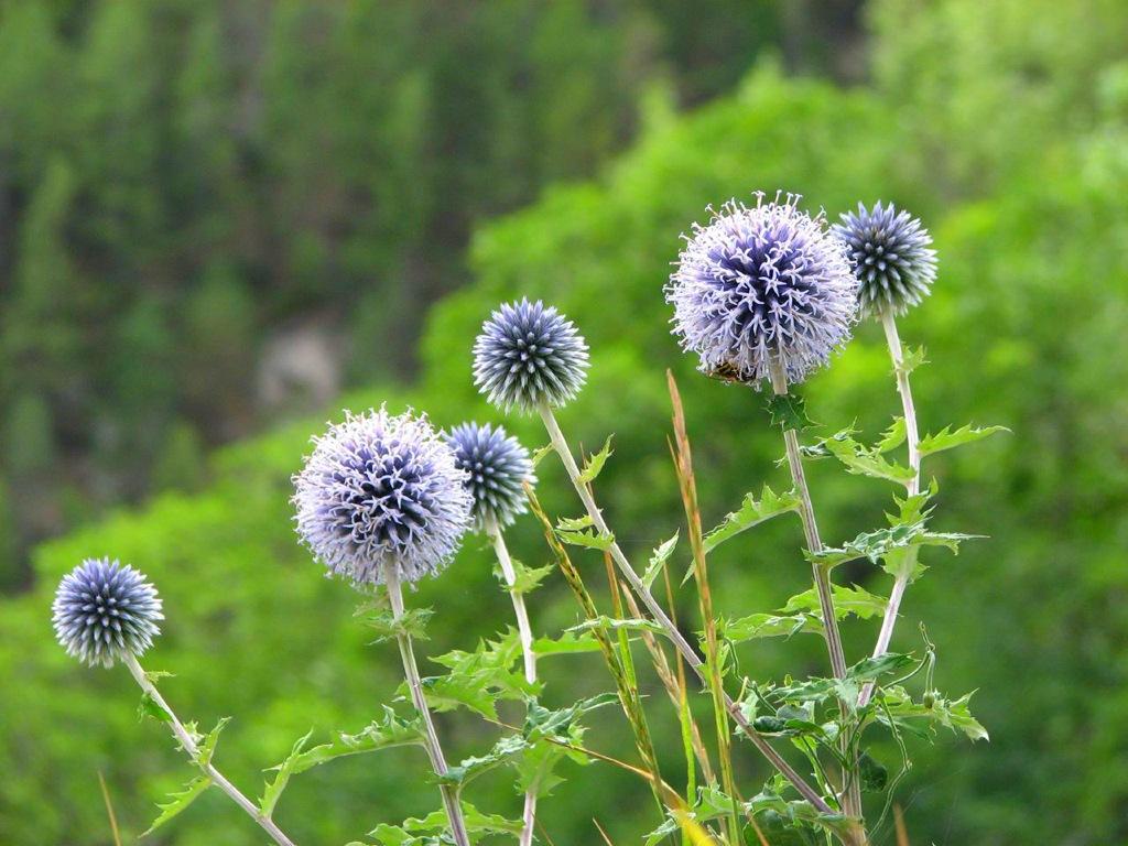 мордовник  цветов