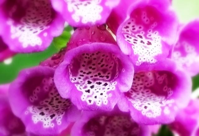 Наперстянка пурпурная