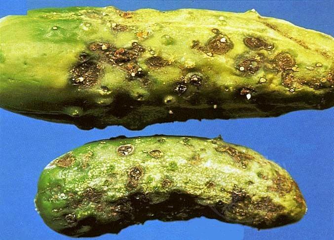 Оливковая пятнистость огурца (кладоспориоз)