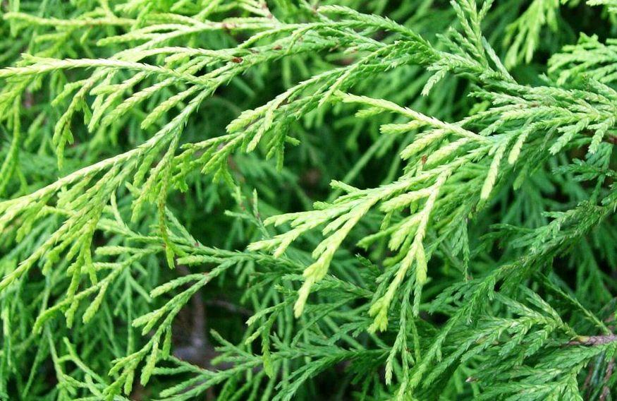 Особенности выращивания кипарисовиков