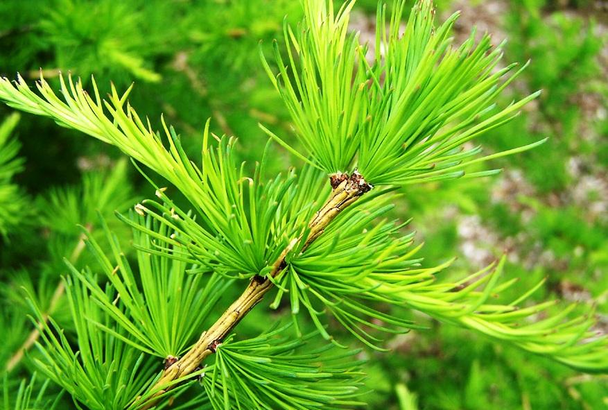 Особенности выращивания лиственниц