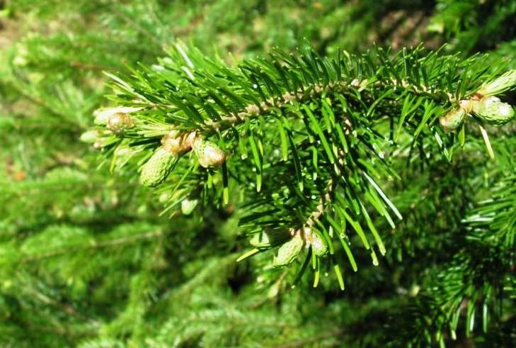 Особенности выращивания пихт