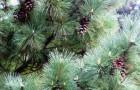 Особенности выращивания сосен