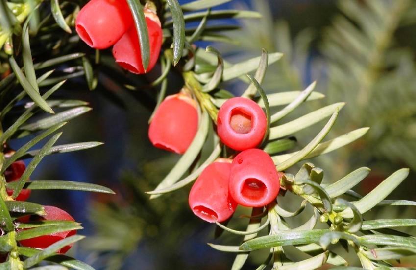 Особенности выращивания тисов