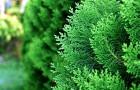 Особенности выращивания туй