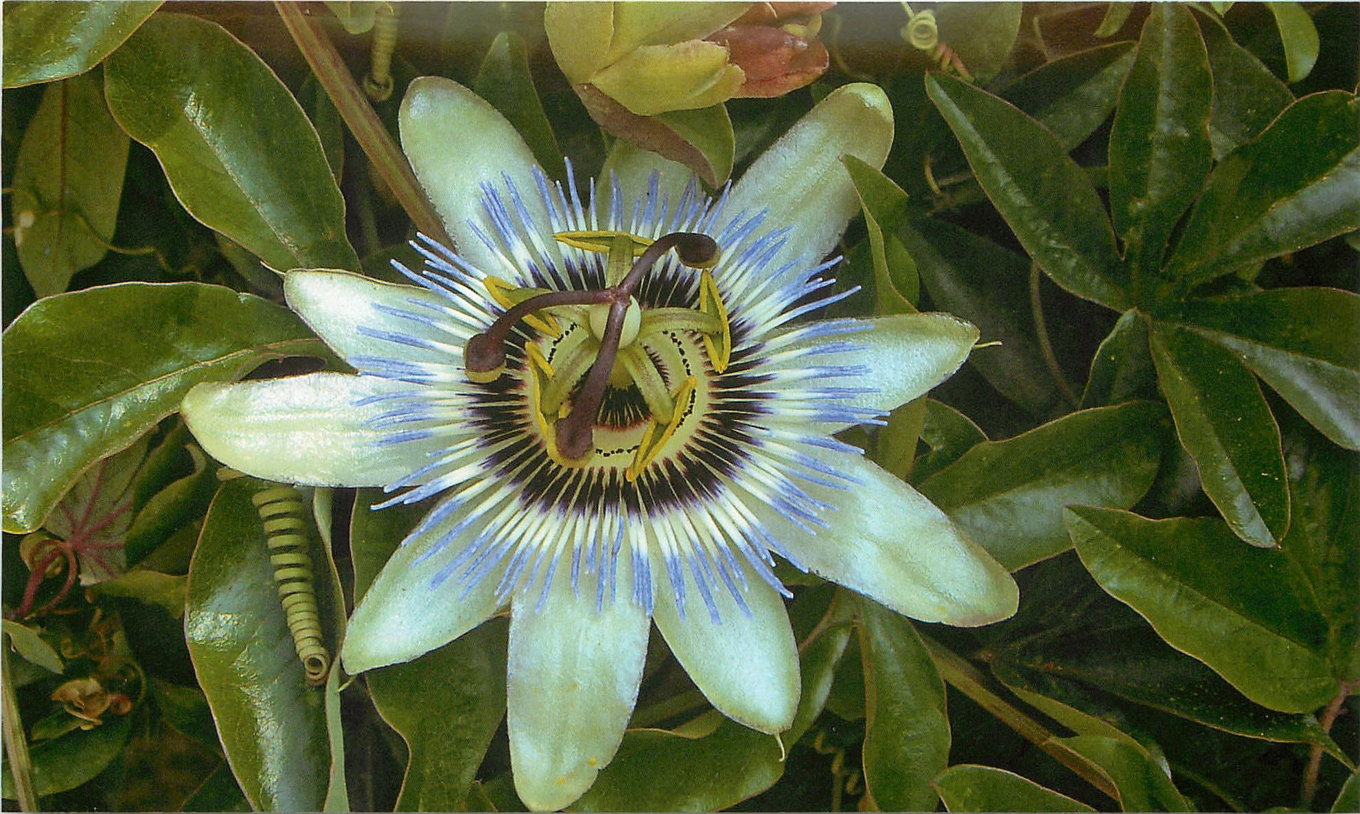 Пассифлора голубая