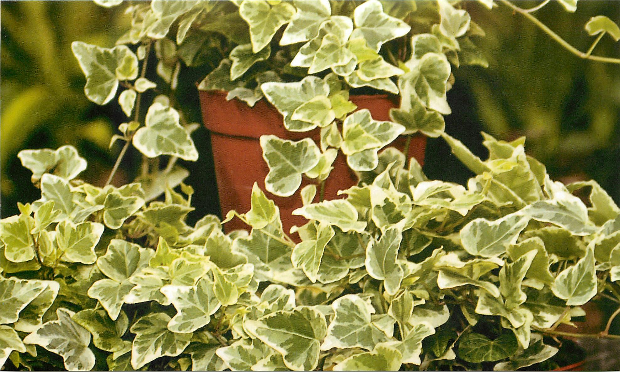 Комнатное растение плющ: фото видов Канарский и Колхидский ...