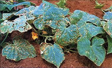 Угловатая пятнистость листьев огурца
