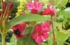Вейгела садовая