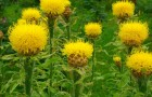 Желтые васильки